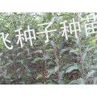 供应出售梨树实生苗||梨树实生苗||梨树实生苗||梨树苗||梨树苗||梨树苗价格