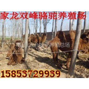 供应山东家龙骆驼养殖出售礼仪骆驼双峰骆驼