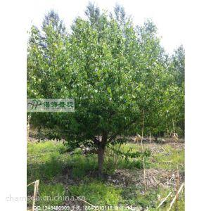 供应梨树 梨树价格 景观树 果树价格 供应果树 梨树
