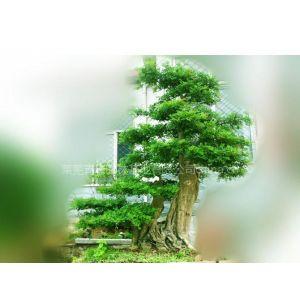 供应长期供应盆景,黑松,油松,风景树