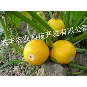 供应金珠西葫芦种子