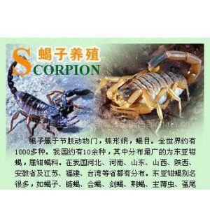 市场剖析得人心 农博6号蝎子养殖美不胜收