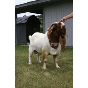 供应波尔山羊肉羊养殖华夏畜牧业你的
