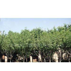 供应大量供应银杏苗木