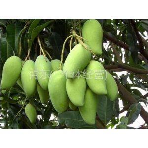 供应优质新鲜象牙芒果