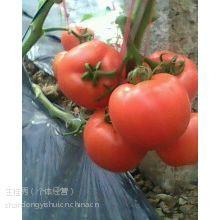 供应山东毛粉西红柿/山东番茄/山东沂水西红柿供应上市