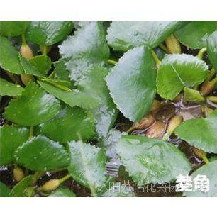 夏季畅销水生花卉青菱 菱角种子 菱角苗子 观赏食用两不误