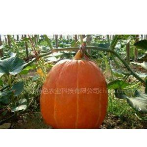 供应农业观光项目 巨型大南瓜种子