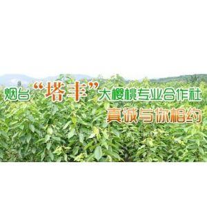 供应品种优良的大樱桃苗木