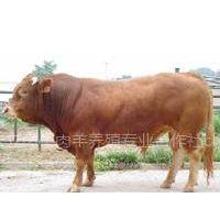 牛羊驴养殖肉牛犊种羊肉驴山东宏立牧业