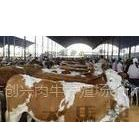 供应肉羊养殖前景养什么羊品种好