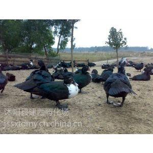 供应骡鸭苗价格骡鸭苗养殖技术骡鸭苗产品供应