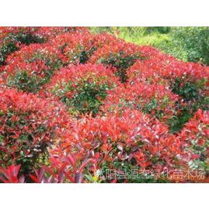 供应苗圃直销 红叶石楠树苗 绿化苗 红叶石楠球 纯正红罗宾 量大从优