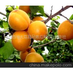 供应大棚金太阳杏价格,大棚杏子价格,陕西金太阳杏基地,杏子产地行情