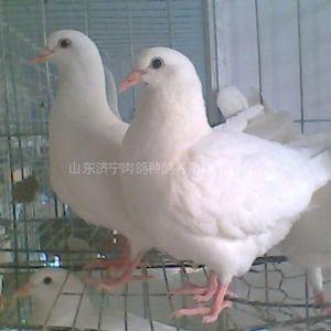 供应美国白羽王鸽,白羽王种鸽价格,白羽王肉鸽种鸽