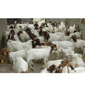 供应四川养羊基地,重庆肉羊什么品种,成都肉羊养殖场