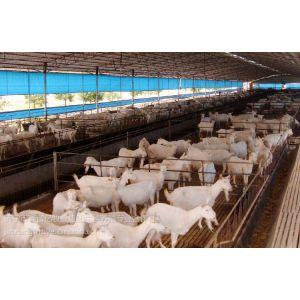 供应哪里肉羊品种多|山东鑫富亿牧业良种繁育场