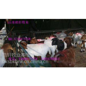 供应小尾寒羊羔多少钱一斤-山东皓轩养殖场