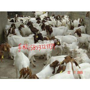 供应波尔山羊种羊肉羊出售价格调拨场