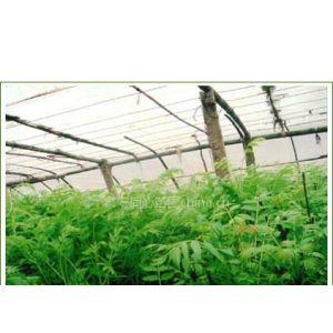 供应【香椿苗价格信息】香椿苗品种,香椿苗圃,香椿苗种子