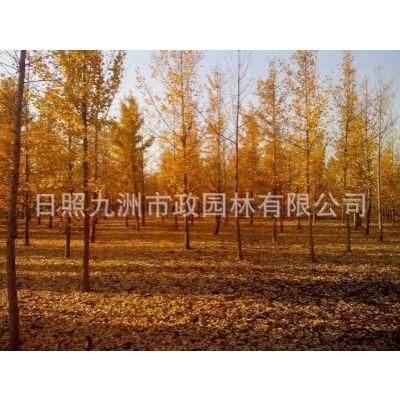 日照银杏苗木、日照银杏树、日照银杏树价格