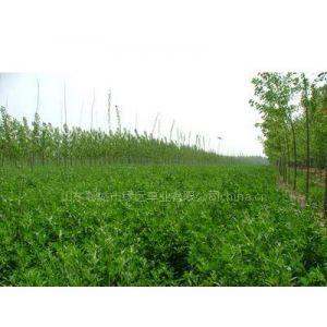 供应供应三得利进口紫花苜蓿草种子 牧草种子 牧草籽