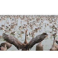 供应江苏孵化场常年供应鹅苗鸭苗鸡苗大白鹅