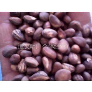 供应供应优质白皮松种子价格