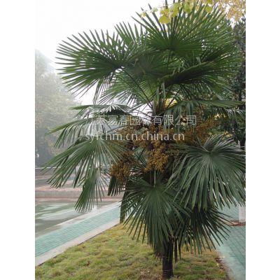 供应北方耐寒棕榈,及北方棕榈种子,耐寒棕榈小苗,棕榈基地