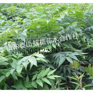 供应香椿苗,香椿苗价格,绿化苗木价格