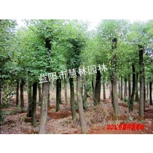 供应供应15公分移栽截杆香樟益阳市慧林园林