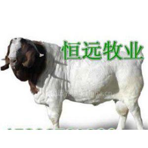 供应国家一级纯种波尔山羊养殖基地