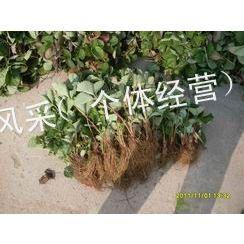 供应二代草莓种苗 优质草莓苗批发供应