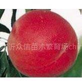 供应苹果苗,梨树苗,油桃苗,枣树苗,金银花苗