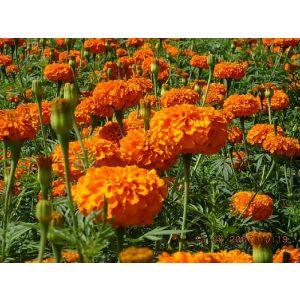 供应色素万寿菊花种,串红花种   ,万寿菊原种
