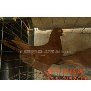 供应购买种鸽,种鸽价格,种鸽多少钱一对