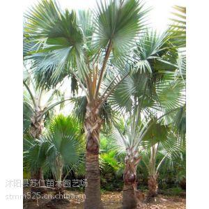 供应3米高棕榈行道树价格