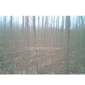 供应出售速生杨树苗,意杨2.5-4.5米绿化苗木。
