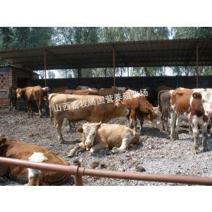 供应山西肉牛价格 山西肉牛报价
