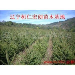 供应供应云杉、云杉基地、辽宁云杉、桓仁云杉、云杉种苗,云杉价格