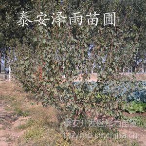 杏树实生苗哪里便宜&0.5公分杏树实生苗*30万杏树苗供应