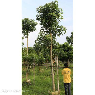 10分秋枫 双十一苗木促销 秋枫价格 绿化乔木 中国苗木网