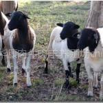 供应肉羊养殖场建设,小羊价格,小羊养殖场