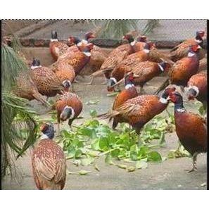 供应供野鸡种苗和商品