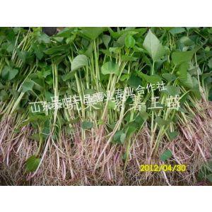 供应紫薯王地瓜苗