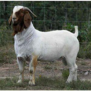 供应内蒙可以买到肉羊吗有没有卖种羊的