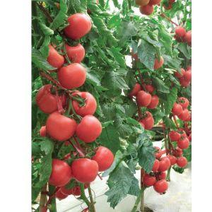 供应西红柿种子越冬西红柿种子