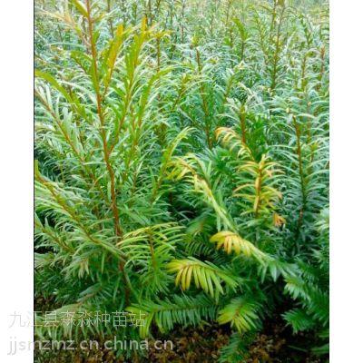 批发红豆杉小苗、一年南方红豆杉小苗价格