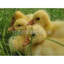 供应出售大种鹅苗/皖西白鹅/保证鹅苗成活率