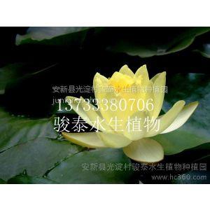 供应大量供应优质白洋淀睡莲、睡莲苗、睡莲种苗真正耐寒睡莲易成活